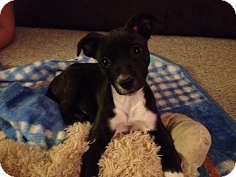 Labrador Retriever/Boxer Mix Puppy for adoption in San Diego, California - Vix