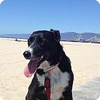 Adopt A Pet :: Bacall - Monrovia, CA