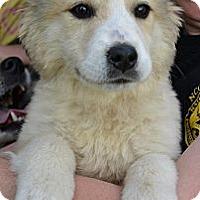 Adopt A Pet :: *Brook - PENDING - Westport, CT