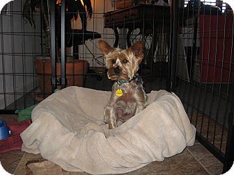 Yorkie, Yorkshire Terrier/Maltese Mix Dog for adoption in Port Clinton, Ohio - Bently