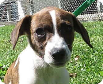 Terrier (Unknown Type, Small)/Hound (Unknown Type) Mix Puppy for adoption in Middletown, New York - Aimee