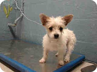 Westie, West Highland White Terrier/Cairn Terrier Mix Puppy for adoption in Simi Valley, California - Wilson