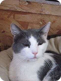 Domestic Mediumhair Cat for adoption in Las Cruces, New Mexico - CC