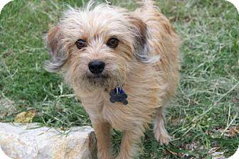 Terrier (Unknown Type, Medium) Mix Dog for adoption in Parkville, Missouri - Alexander
