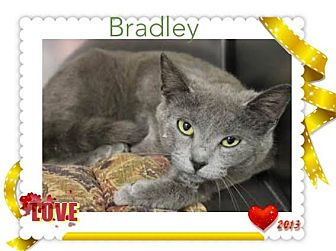 Russian Blue Cat for adoption in Harrisburg, North Carolina - Bradley