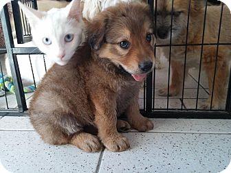 Collie/Shepherd (Unknown Type) Mix Puppy for adoption in Thousand Oaks, California - Adriana