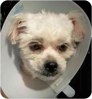 Maltese Dog for adoption in Rolling Hills Estates, California - Lindsey
