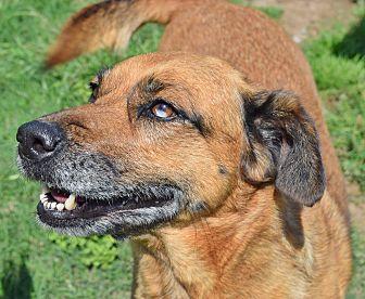Catahoula Leopard Dog/Shepherd (Unknown Type) Mix Dog for adoption in Iola, Texas - Flash
