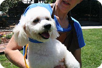 Poodle (Miniature) Mix Dog for adoption in Houston, Texas - Cadillac