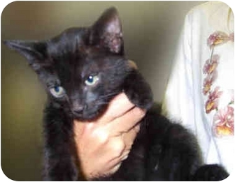 Domestic Shorthair Kitten for adoption in San Clemente, California - HUGS