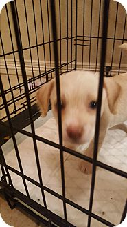 Terrier (Unknown Type, Small) Mix Puppy for adoption in Weatherford, Texas - Gus