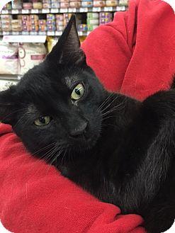Domestic Shorthair Cat for adoption in Richmond, Virginia - Athos