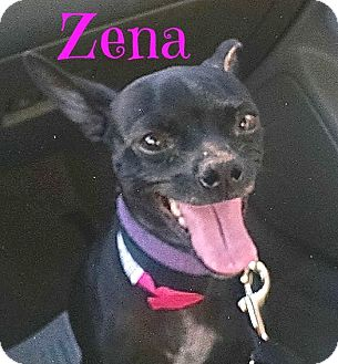 Chihuahua Dog for adoption in Scottsdale, Arizona - Zena