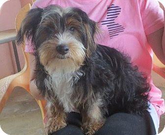 Yorkie, Yorkshire Terrier Dog for adoption in Allentown, Pennsylvania - Tug Boat
