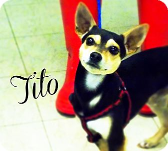 Chihuahua/Terrier (Unknown Type, Medium) Mix Dog for adoption in Defiance, Ohio - Tito