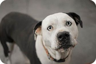 American Bulldog Mix Dog for adoption in Brattleboro, Vermont - Sadie