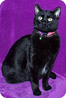 Domestic Shorthair Cat for adoption in Ortonville, Michigan - Sassy