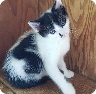 Calico Kitten for adoption in Randolph, New Jersey - Ragga and Rasta
