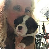 Corgi/Terrier (Unknown Type, Medium) Mix Puppy for adoption in Manchester, New Hampshire - Haus - pending