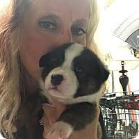 Adopt A Pet :: Haus - pending - Manchester, NH