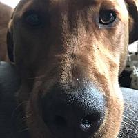 Adopt A Pet :: Beau - Midlothian, VA