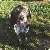 Adopt A Pet :: PJ - Springfield, MO