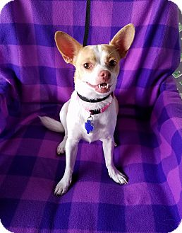 Chihuahua Mix Dog for adoption in Houston, Texas - Pineapple