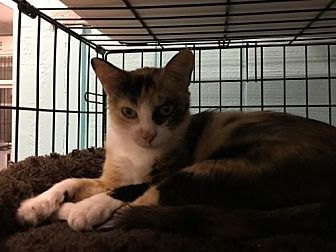 Domestic Shorthair Cat for adoption in Pendleton, New York - Cleo 2