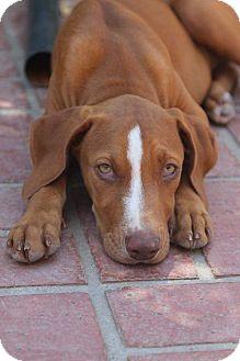 Vizsla Mix Puppy for adoption in Concord, California - Libby