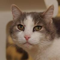 Domestic Shorthair/Domestic Shorthair Mix Cat for adoption in St. Catharines, Ontario - Roger Moore