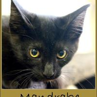 Adopt A Pet :: Mandrake - Sullivan, IN