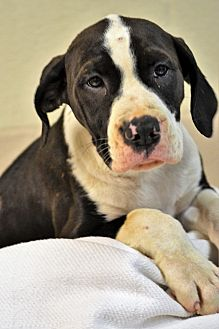 Pit Bull Terrier Mix Puppy for adoption in Albemarle, North Carolina - Sandy