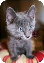 Domestic Shorthair Kitten for adoption in Walker, Michigan - Benny