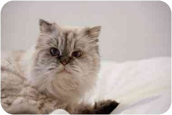 Himalayan Cat for adoption in Beverly Hills, California - Kylie