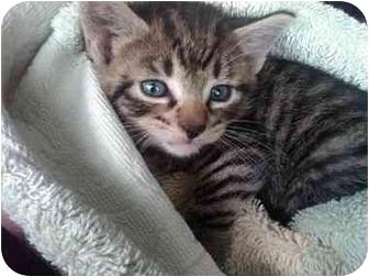 American Shorthair Kitten for adoption in New Rochelle, New York - KooKoo