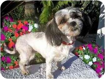 Shih Tzu Dog for adoption in Los Angeles, California - SOOKI