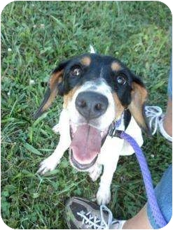 Rat Terrier/Beagle Mix Dog for adoption in Shelbyville, Kentucky - Donna