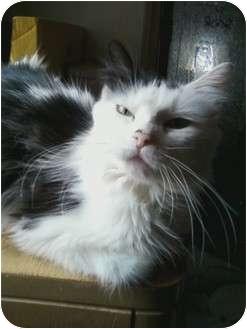 Domestic Longhair Cat for adoption in Bay City, Michigan - Persephone~~RIP 1/2012~~