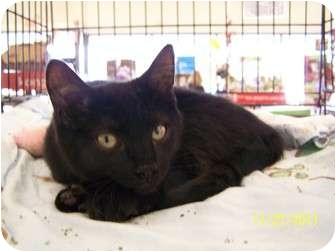 Domestic Shorthair Kitten for adoption in Riverside, Rhode Island - Rihanna