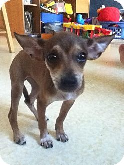 Chihuahua Mix Puppy for adoption in Plainfield, Illinois - Bambeeno