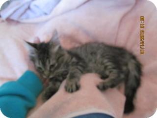 Domestic Mediumhair Kitten for adoption in Phoenix, Arizona - Bruce