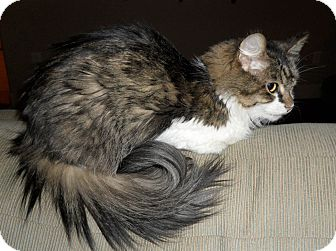 Domestic Longhair Cat for adoption in Bentonville, Arkansas - Kisses