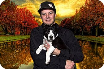 American Staffordshire Terrier/Chow Chow Mix Puppy for adoption in Livonia, Michigan - Betty Boop - Adopted 11/02/13