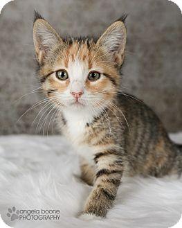 Domestic Shorthair Kitten for adoption in Eagan, Minnesota - Dottie