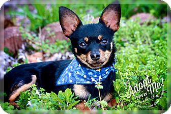 Chihuahua Mix Dog for adoption in Albany, New York - Carlos