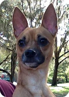 Chihuahua Mix Dog for adoption in Gainesville, Florida - Taco-Too