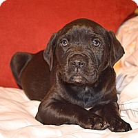 Adopt A Pet :: Henry Wrinkler - Hagerstown, MD