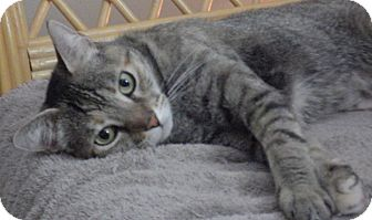 Domestic Shorthair Cat for adoption in Quail Valley, California - Bella