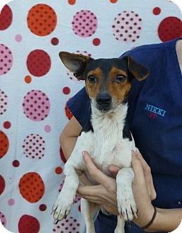 Dachshund/Rat Terrier Mix Dog for adoption in Oviedo, Florida - McKail
