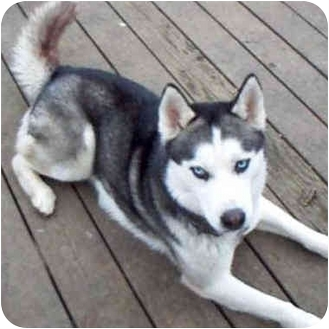 Siberian Husky Dog for adoption in Various Locations, Indiana - Kody